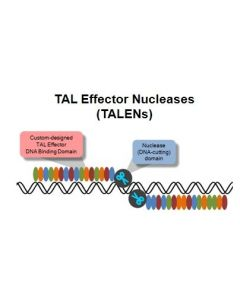 TAL Effector Nucleases