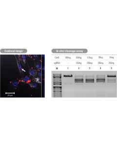 Cas9 (dead-double mutant D10A/840A) protein, active, with Fluorescent label (Cy3)
