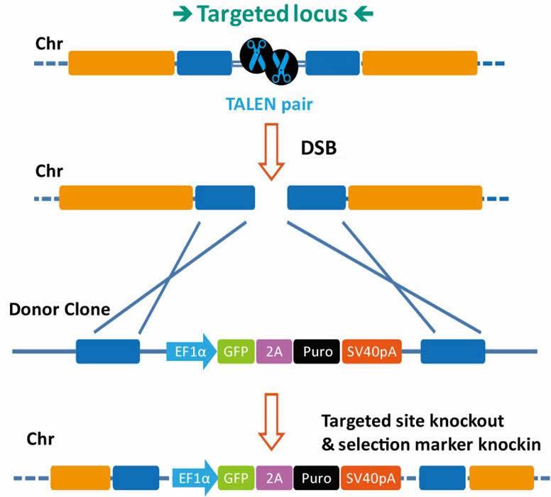 Targeted Locus-right-1